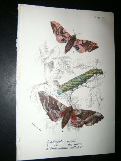 Allen & Kirby 1890's Antique Moth Print. Amorpha Popul | Albion Prints